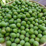 梅の収穫と梅酒作り