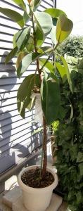 植え替え前のゴムの木