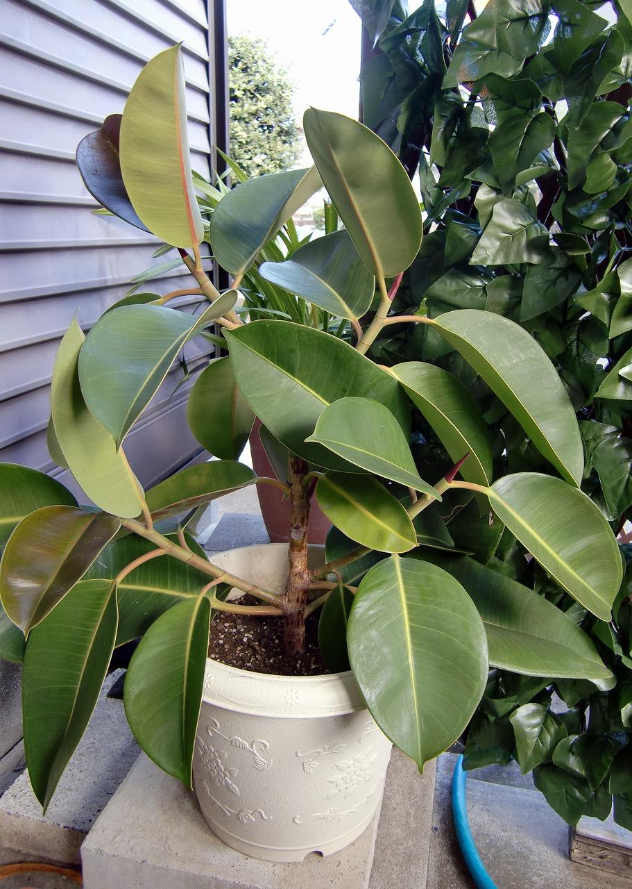 植え替えたゴムの木